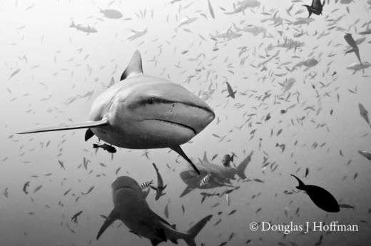 shark41